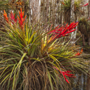 Cardinal Air Plants Growing on Dwarf Cypress Trees near Pa-hay-okee Area, Everglades National Park, FL
