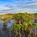 Late Evening Light on Red Mangroves near Paurotis Pond, Everglades National Park, FL