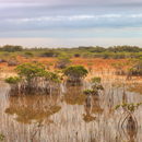 Red Mangroves and Wetlands Prairie in Early Morning under Cloudy Skies, near Paurotis Pond, Everglades National Park, FL