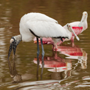 Wood Stork and Roseate Spoonbills Feeding at Mrazek Pond, Everglades National Park, FL