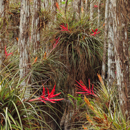 Cardinal Air Plants Growing on Dwarf Cypress Trees in Cypress Dome near Pa-hay-okee Area, Everglades National Park, FL