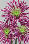 Close Up of Spider Chrysanthemums in a Floral Bouquet, Athol, MA