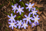 Glory-of-the-Snow (Chiondoxa) in Full Bloom in Country Garden in Early Spring, Athol, MA