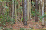 Pine and Palm Tree Trunks in Maritime Forest, Hunting Island State Park, Hunting Island, SC