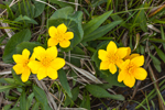 Marsh Marigolds in Full Bloom in Small Stream, Early Spring at High Valley Farm, Taconic Mountains, Copake Falls, NY