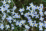 Bluets in Bloom in Early Spring, High Valley Farm, Taconic Mountains, Copake Falls, NY