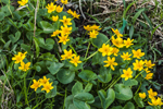 Marsh Marigolds in Full Bloom in Marsh in Early Spring, High Valley Farm, Taconic Mountains, Copake Falls, NY