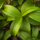 Close Up of False Hellebore Plants along Preechey Hollow Brook, High Valley Farm, Taconic Mountains, Copake Falls, NY