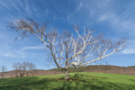 Old White Birch Tree on High Valley Farm in Early Spring, Taconic Mountains, Copake Falls, NY