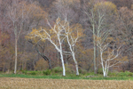 White Birch Trees and Hardwood Forest in Early Spring at High Valley Farm, Taconic Mountains, Copake Falls, NY
