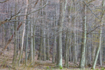 Mature Oak Forest in Early Spring, Taconic Mountains, Copake Falls, NY