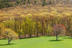 Spring Colors in Hardwood Forest at Edge of Field at High Valley Farm, Taconic Mountains, Copake Falls, NY
