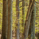Mature Hardwood Forest in Early Spring on High Valley Farm, Taconic Mountains, Copake Falls, NY