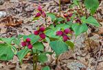Purple Trilliums in Full Bloom on Forest Floor in Early Spring, Taconic Mountains, Copake Falls, NY