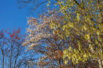 Canopy of Sugar Maple, Shadbush, and Red Maple Trees with Spring Colors against Blue Sky in Early Morning, High Valley Farm, Taconic Mountains, Copake Falls, NY