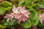 Trailing Arbutus (Mayflower) in Full Bloom, near Bearsden Conservation Area, Athol, MA