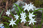 Glory-of-the-Snow in Full Bloom in Early Spring Country Garden, Athol, MA