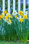 Daffodils in Full Bloom along White Picket Fence, Groton, CT