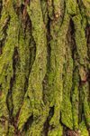 Close Up of Moss-covered Bark on Eastern Hemlock Tree Trunk, Rutland Brook, Massachusetts Audubon Wildlife Sanctuary, Petersham, MA