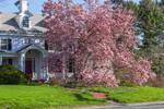Magnolia Tree in Full Bloom in Early Spring at Windflower Country Lodging, Berkshire Mountains, Great Barrington, MA