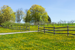 Dandelions, Split-rail Fence, Apple Orchard, and Sugar Maple Tree in Spring, Sharon, CT