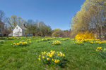 Naturalized Daffodils, Forsythia, and White Barn in Spring, New Salem Common Historic District, New Salem, MA