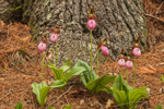 Pink Lady's Slippers at Base of White Pine Tree, Pachaug State Forest, Voluntown, CT