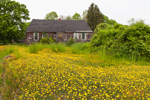 Field of Yellow Hawkweeds in Front of Old, Abandoned Homestead, Griswold, CT