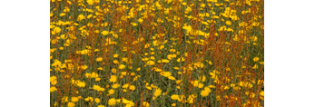 Close Up of Yellow Hawkweeds and Sheep Sorrel in Spring, Griswold, CT