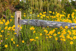 Lance-leaved Coreopsis Blooming alongside Split-rail Fence, Martha's Vineyard, Oak Bluffs, MA