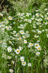 Ox-eye Daisies and Tall Grasses in Bloom, Martha's Vineyard, Edgartown, MA