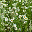 Ox-eye Daisies and Tall Grasses in Bloom, Martha's Vineyard, Edgartown, MA