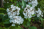Close Up of Mountain Laurel in Full Bloom, Athol, MA