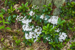 Mountain Laurel in Full Bloom on Forest Floor along MIllers River/Baquag Trail, Athol, MA