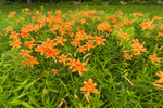 Orange Day-lilies in Meadow on Mulpus Brook Acres Property, Lunenburg, MA