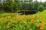 Orange Day-lilies, Meadow, and Sparkle Plenty Pond on Mulpus Brook Acres Property, Lunenburg, MA
