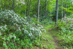 MIllers River/Baquag Trail Winding through Mountain Laurel in Full Bloom, Athol, MA