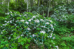 Mountain Laurel in Full Bloom along MIllers River/Baquag Trail, Athol, MA