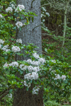 Mountain Laurel in Full Bloom with White Pine Tree Trunk, Athol, MA