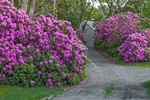 Rhododendrons in Full Bloom along Private Drive, Martha's Vineyard, Edgartown, MA