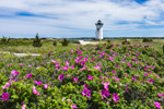 Beach Roses in Bloom at Edgartown Lighthouse, Martha's Vineyard, Edgartown, MA