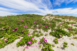 Beach Roses in Bloom on Sand Dunes at Lighthouse Beach, Martha's Vineyard, Edgartown, MA