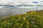 Lance-leaved Coreopsis and Nantucket Sound, Ocean View from Oak Bluffs near East Chop, Martha's Vineyard, Oak Bluffs, MA