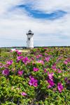 Beach Roses in Bloom at Edgartown Lighthouse, Martha's Vineyard, Edgartown, MA