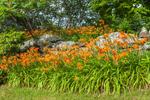 Orange Day-lilies along Stone Wall, Royalston, MA