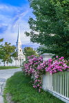 Pink Roses along White Fence on Royalston Common with First Congregational Church in Background, Royalston, MA