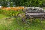 Orange Day-lilies along Stone Wall and Old Wooden Wagon, Royalston, MA