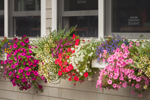 Colorful Flower Boxes at Graffam Bros. Harbor Restaurant in Downtown Camden, Camden, ME