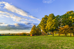 Sugar Maple Trees and Meadow in Early Evening Light, Natick, MA