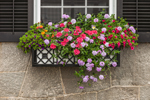 Close Up of Colorful Flowers in Window Box on House Built by David R Williams, Marine Entrepeneur, 1834, National Register of HIstoric Places, Mystic, CT
